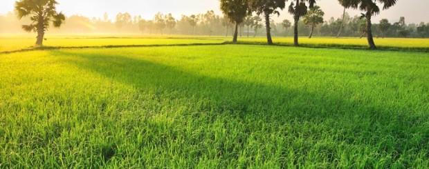 Paddy field in Chau Doc